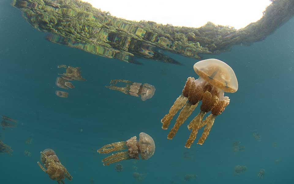 Mastigias papua, lagoon ancestor